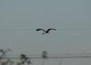 Cicogna nera
