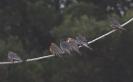 Falco cuculo_1