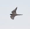 Falco della regina_1