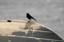 Monachella nera testabianca-3