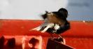 Monachella nera testabianca-2